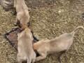 belgijski-ovcar-malinoa-prelepezenkice-small-3