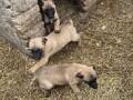belgijski-ovcar-malinoa-prelepezenkice-small-0