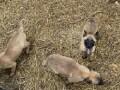 belgijski-ovcar-malinoa-prelepezenkice-small-1