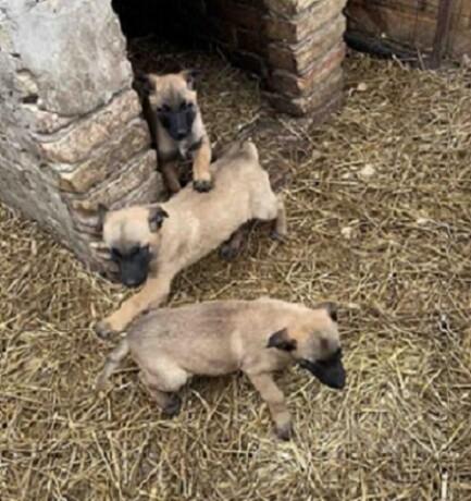 belgijski-ovcar-malinoa-prelepezenkice-big-0