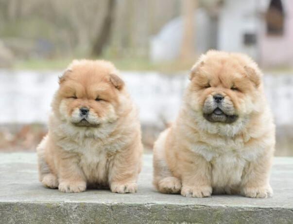 chow-chow-dva-muska-steneta-big-2