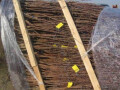 nastic-razne-vocne-sadnice-small-2