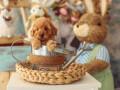 u-ponudi-aprikot-toy-pudla-i-crna-patuljasta-pudla-small-1