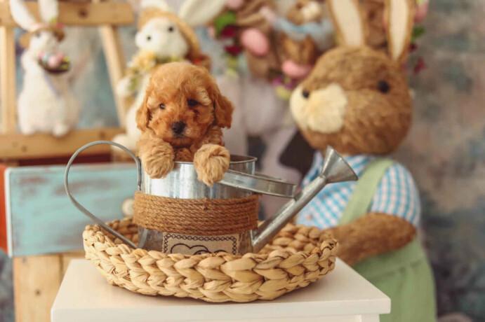 u-ponudi-aprikot-toy-pudla-i-crna-patuljasta-pudla-big-1