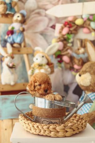 u-ponudi-aprikot-toy-pudla-i-crna-patuljasta-pudla-big-2
