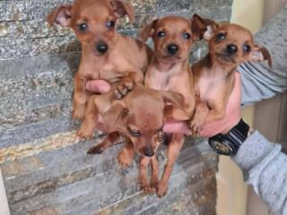 Patuljasti PINČEVI štenci