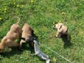 belgijski-ovcar-malinoa-small-2
