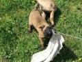belgijski-ovcar-malinoa-small-3