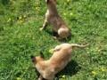 belgijski-ovcar-malinoa-small-0