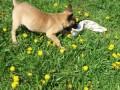 belgijski-ovcar-malinoa-small-4
