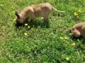 belgijski-ovcar-malinoa-small-1