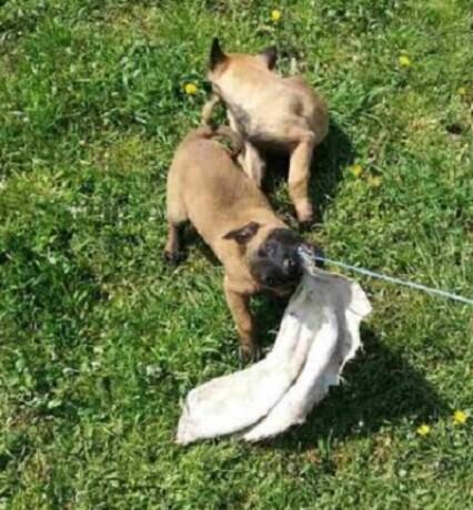 belgijski-ovcar-malinoa-big-3