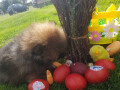 patuljasti-pomeranac-muzjak-oranz-boje-small-3