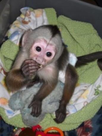 bebe-majmuni-kapucini-na-prodaju-big-1
