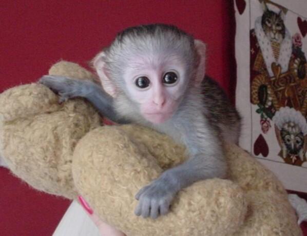 bebe-majmuni-kapucini-na-prodaju-big-0