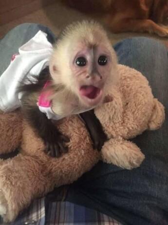 bebe-majmuni-kapucini-na-prodaju-big-2