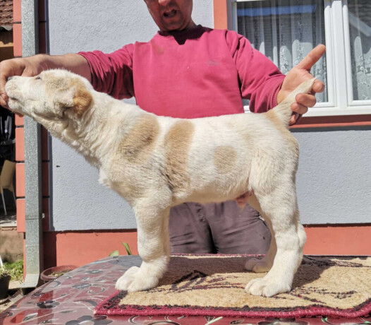 srednjeazijski-ovcar-vrhunskog-porekla-big-1