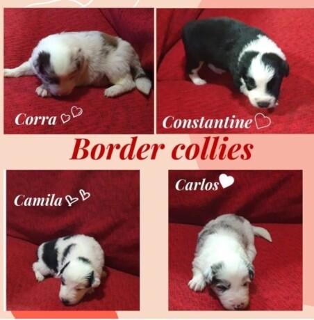 border-collie-stenci-big-4