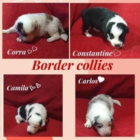border-collie-stenci-big-0