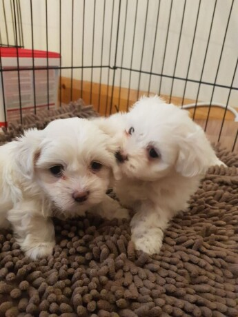 cute-maltese-puppies-are-available-big-0