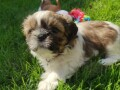great-shih-tzu-for-sale-small-2