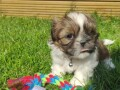 great-shih-tzu-for-sale-small-0