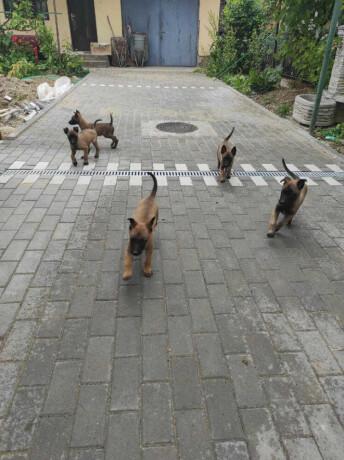 belgijski-ovcar-malinoa-zenska-stenad-big-3