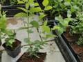 jednogodisnje-sadnice-borovnica-duke-bluecrop-i-chandler-small-1