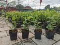 jednogodisnje-sadnice-borovnica-duke-bluecrop-i-chandler-small-2