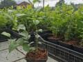 jednogodisnje-sadnice-borovnica-duke-bluecrop-i-chandler-small-0