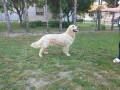 labrador-retriver-zenka-stara-2-godine-small-0