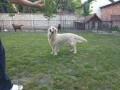 labrador-retriver-zenka-stara-2-godine-small-1