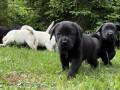 labrador-retriver-stenci-sa-rodovnikom-small-1