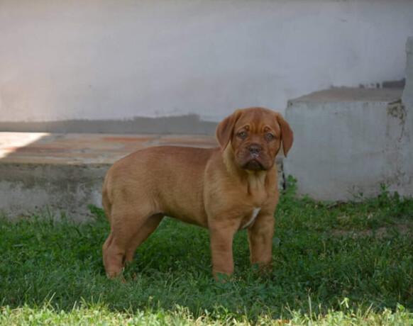 zenka-bordoske-doge-big-4