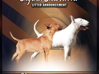 Bulterijer muški štenci