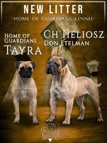 odgajivacnica-bullmastiff-a-home-of-guardians-big-0