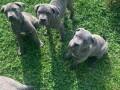 cane-corso-stenci-small-4