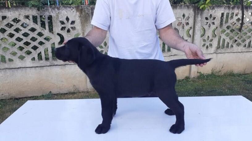 stene-labradora-vrhunskog-porekla-big-0