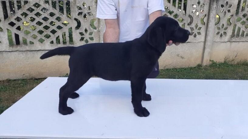 stene-labradora-vrhunskog-porekla-big-2