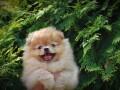 beautiful-puppies-boo-pomerance-small-1