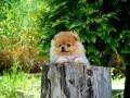 beautiful-puppies-boo-pomerance-small-3