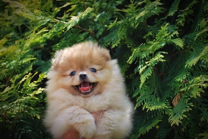 beautiful-puppies-boo-pomerance-big-1