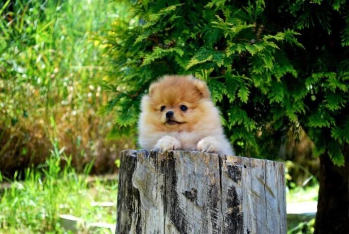 beautiful-puppies-boo-pomerance-big-3