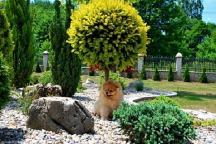 beautiful-puppies-boo-pomerance-big-0