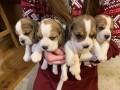 preslatki-stenad-beagle-na-prodaju-small-1
