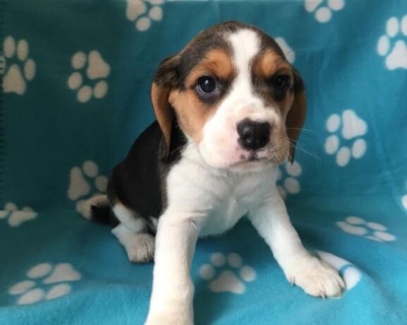 preslatki-stenad-beagle-na-prodaju-big-0