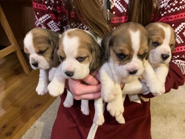 preslatki-stenad-beagle-na-prodaju-big-1