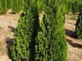 prodaja-sadnica-i-tepih-trave-small-0
