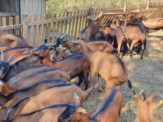 Prodajem umaticeno stado koza