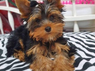 Little Yorkshire Terriers ready